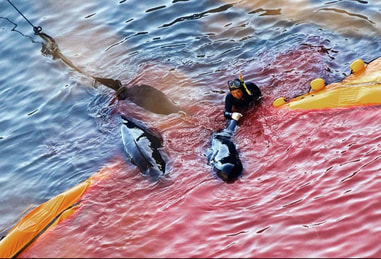 Dolphin slaughter in Taiji, Japan